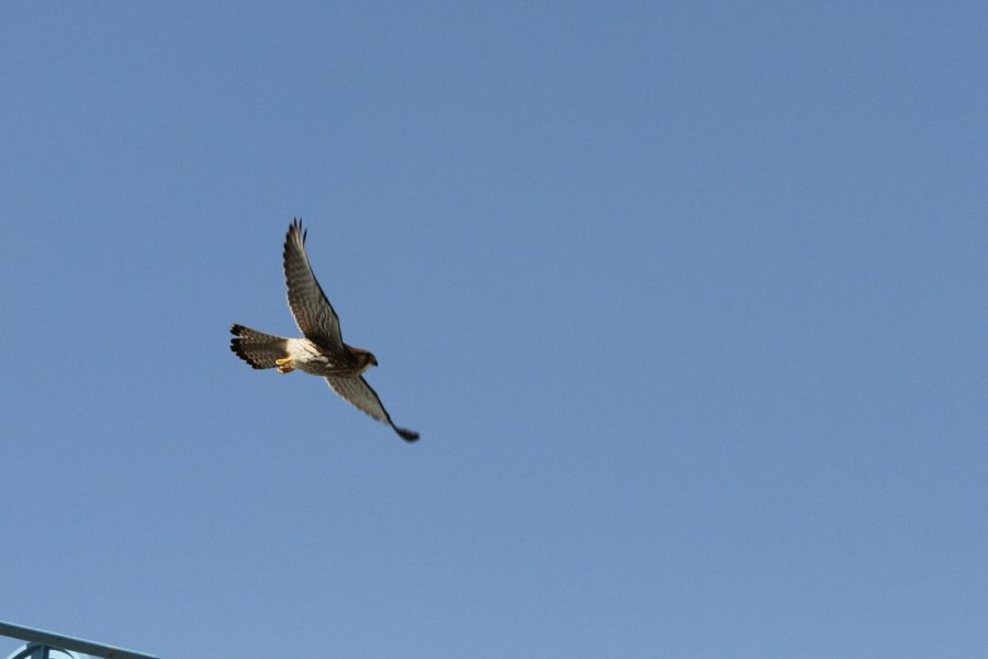 チョウゲンボウ2013-9-19-3-35摂津市-鳥飼下PAIMG_0117