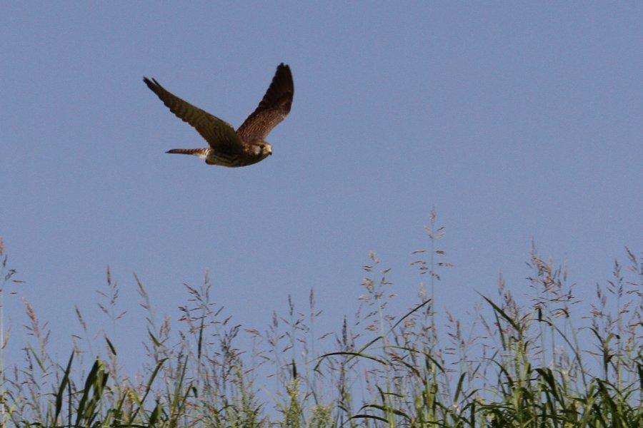 チョウゲンボウ2013-9-19-6-60摂津市-鳥飼下PAIMG_0131