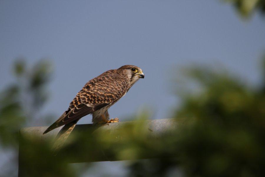 チョウゲンボウ2013-9-19-17摂津市-鳥飼下PAIMG_0489