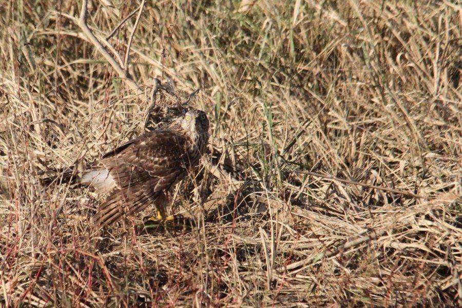 オオタカの幼鳥2013-10-27-3-45p淀川-唐崎IMG_1002
