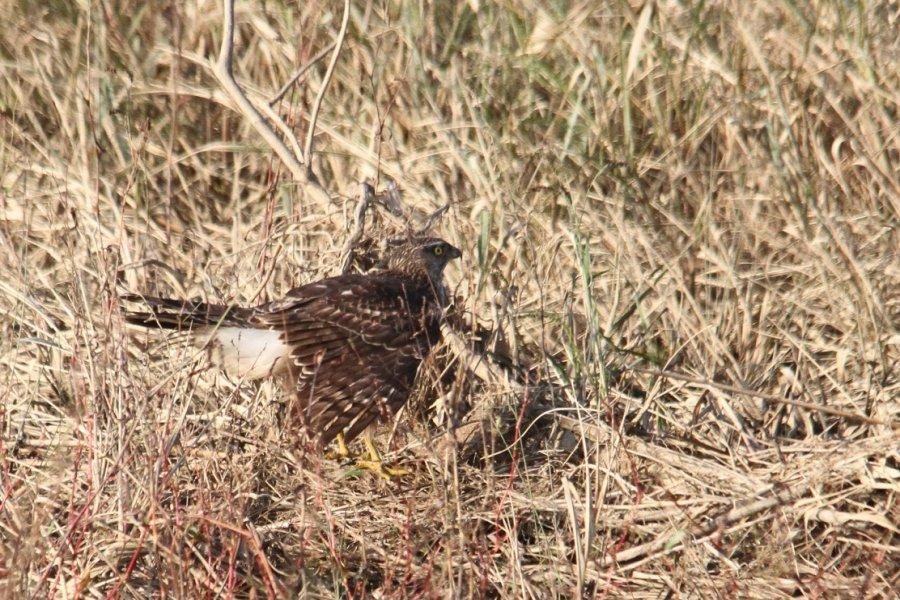 オオタカの幼鳥2013-10-27-4-45p淀川-唐崎IMG_1009
