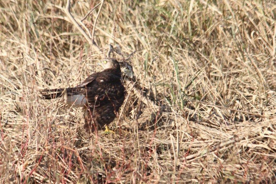 オオタカの幼鳥2013-10-27-5-45p淀川-唐崎IMG_1013