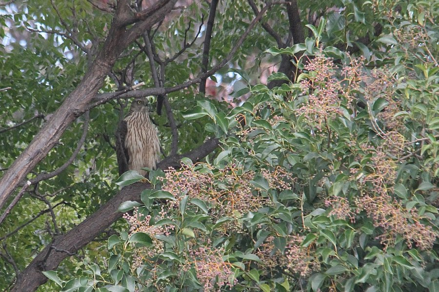 オオタカの幼鳥2013-11-18-1-50PSC淀川-唐崎IMG_2626 - コピー