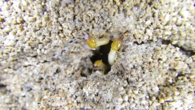 イエシロアリの兵隊蟻