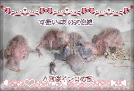 八重桜の雛ブログ用