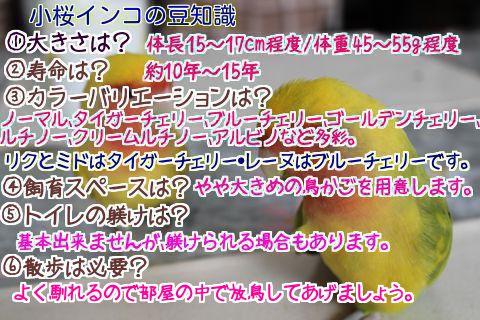 小桜インコの豆知識1