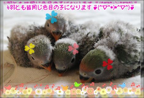 八重桜インコの雛2ブログ用
