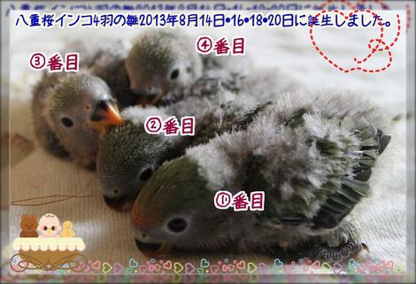 八重桜インコの雛1ブログ用