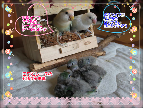 八重桜インコの雛3ブログ用
