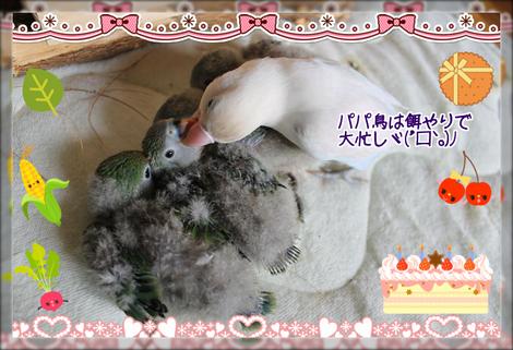 八重桜インコの雛4ブログ用