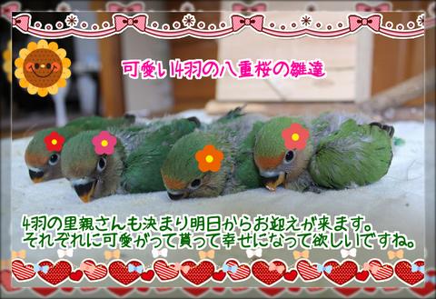 4羽の八重桜インコの雛ブログ用
