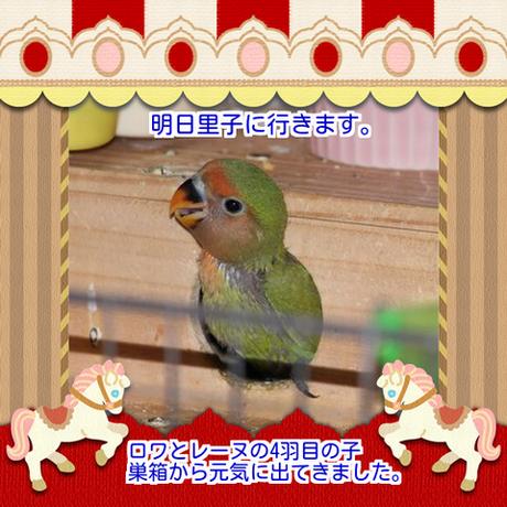八重桜4羽目ブログ用