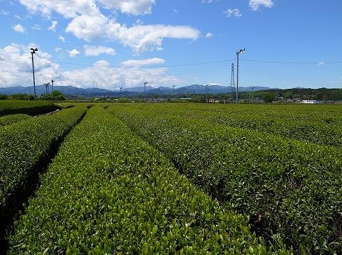 2013-05-02 茶畑 009