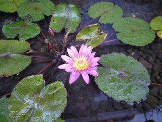 台北の睡蓮