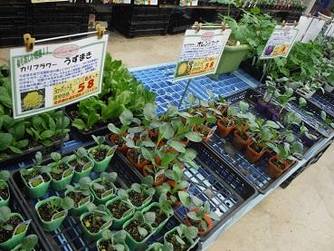 20130824野菜 カリフラワー