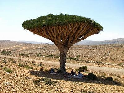 dracena-arborea[1]