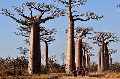 avenue-du-baobab[1]