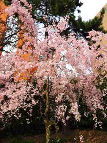 枝垂れ桜20130408