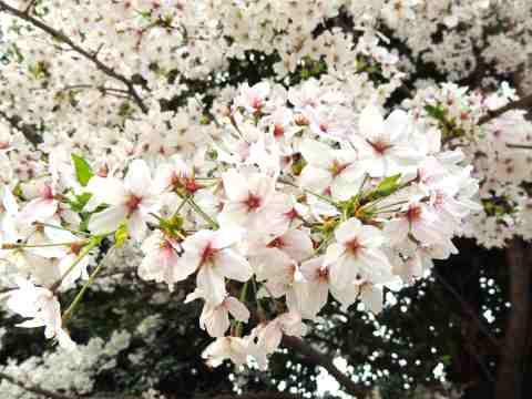 花弁アップ20130408