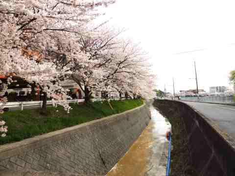 川沿い桜並木20130408