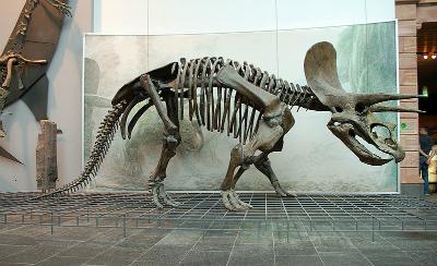 800px-Triceratops_Skeleton_Senckenberg_2.jpg