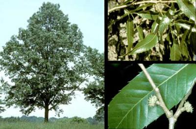 Quercus_acutissima.jpg