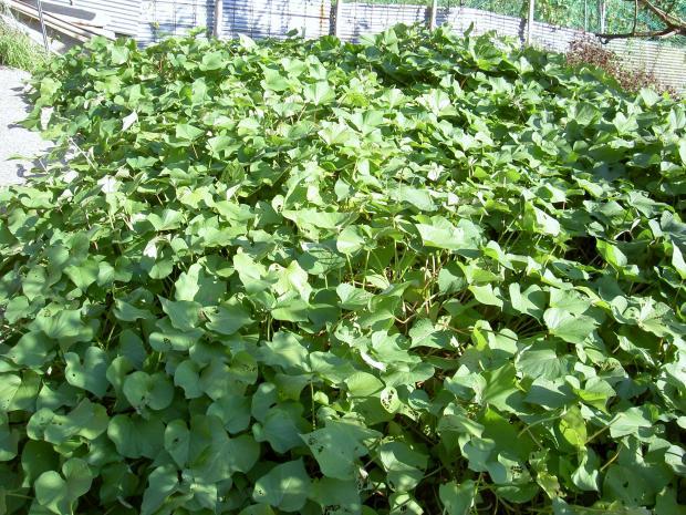 サツマイモ畑 2012年9月26日
