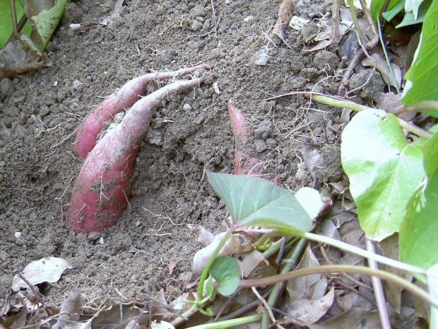 8月1日に苗を定植、88日後の10月28日の芋の入り状態