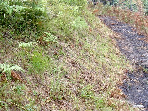 刈り払った跡に夏ワラビが生じる