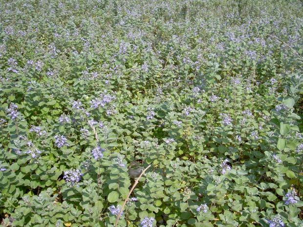 ハマゴウのお花畑