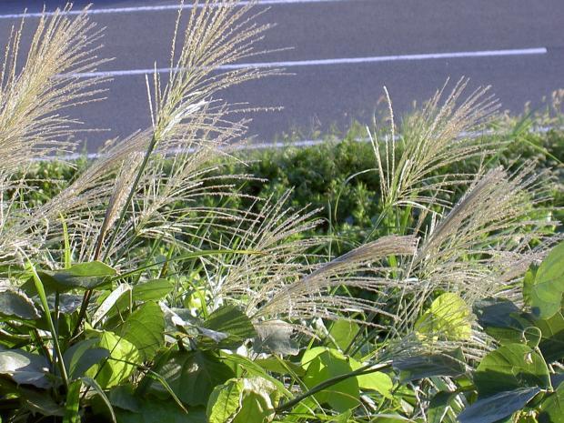 ススキの開花