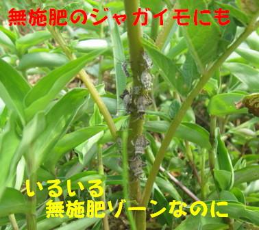ホオズキカメ (3)