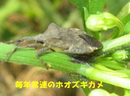ホオズキカメ (1)