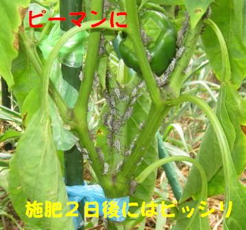 ホオズキカメ (2)