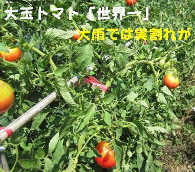 大玉トマト(世界一)