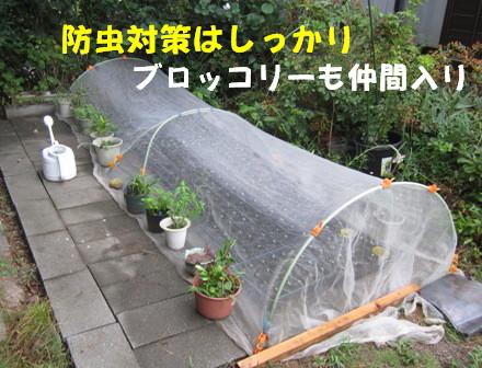 キャベツ苗防虫対策