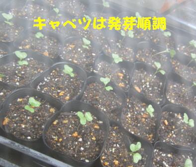キャベツ発芽 (1)
