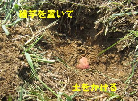 秋ジャガ植え付け順 (3)