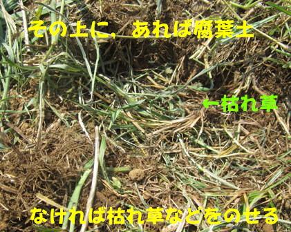 秋ジャガ植え付け順 (4)