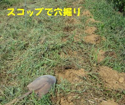 秋ジャガ植え付け順 (2)