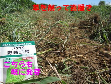 白菜直播きと育苗 (1)