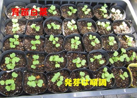 白菜直播きと育苗 (2)