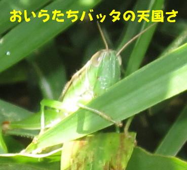 農園のバッタたち (1)
