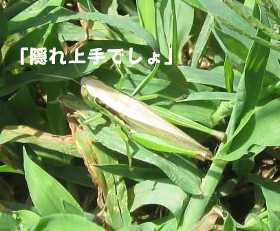 農園のバッタたち (5)