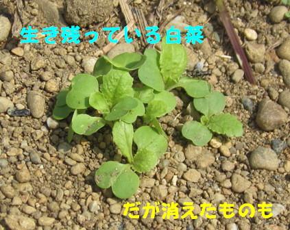 発芽生長中 (4)