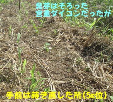 発芽生長中 (5)