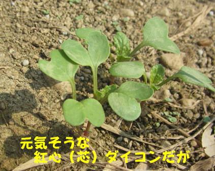 発芽生長中 (2)