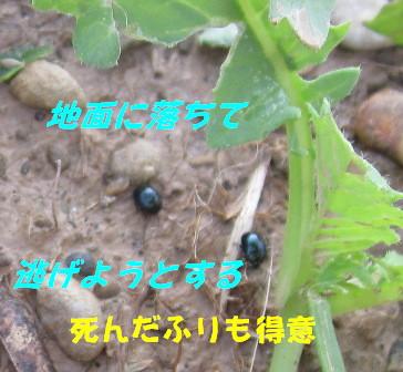ダイコン被害 (ハムシ1)