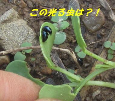 ダイコン被害 (ハムシ2)