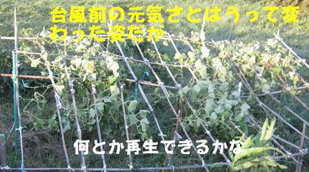 台風被害 (ハヤトウリ)
